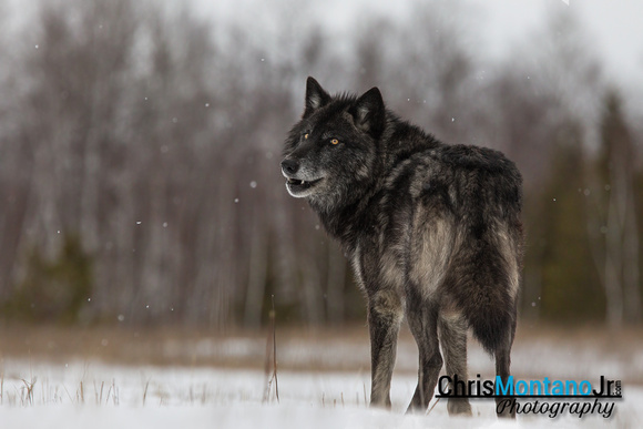 Black Timber Wolf Over the Shoulder