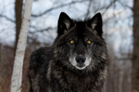 Black Timber Wolf in the Woods
