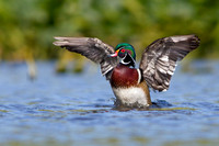 wood_duck_flapping_wings