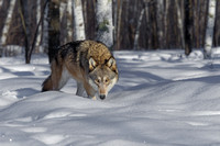 Timber Wolf in Woods