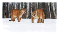 mountain_lion_26