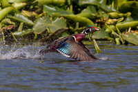 wood_duck_taking_off