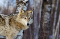 Timber Wolf in Birchwood Trees