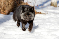 Silver Fox Walking