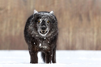 Black Timber Snowy Face