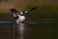 Drake Bufflehead Stretching those wings