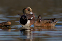 Drake & Protective Hen American Wigeon