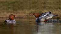 Hen Common Mergansers