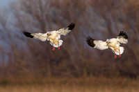 Ross Goose Pair Coming in To Land