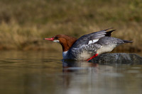 Hen Common Merganser