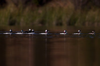 Drake Buffleheads following a hen