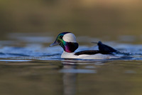 Drake Bufflehead Up from a Dive