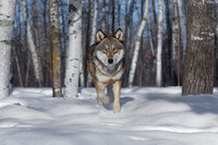 Timber Wolf Pauses