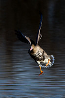 White-Fronted Goose Portrait Landing