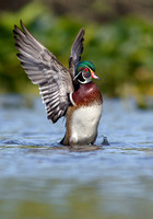 wood_duck_displaying_portrait