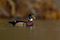 wood_duck_gracefully_swimming