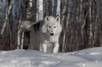 White Timber Wolf