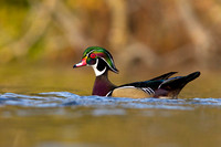 wood_duck_swimming_at_sunset