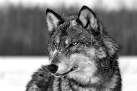 Timber Wolf Portrait Black & White