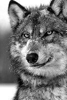 Timber Wolf Black & White Portrait