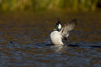 Drake Bufflehead Flapping Wings