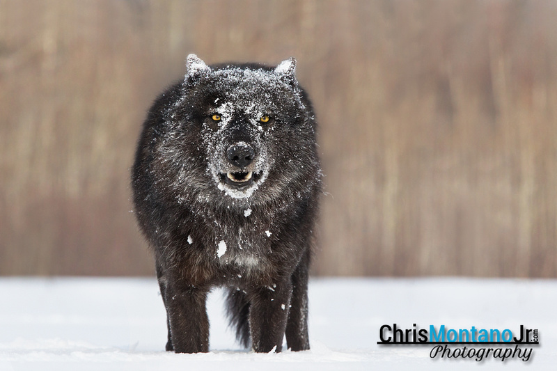 Black timber wolf face