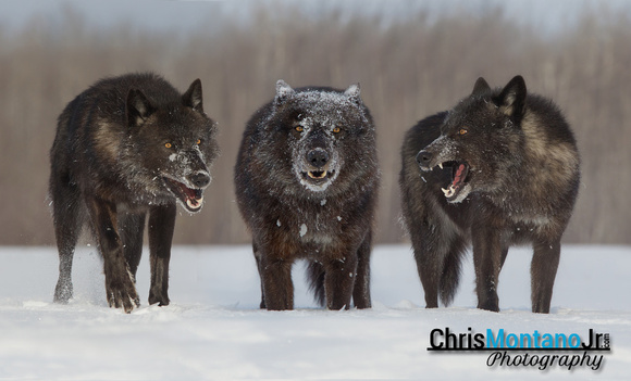 chris montano jr photography wolves black black timber wolf