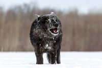Black Timber Wolf Snarl