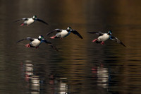 Drake Buffleheads Coming in for a landing