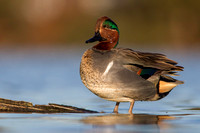 Drake Green-Winged Teal