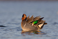 Drake Green-Winged Teal Preening
