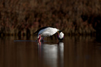 Drake Bufflehead Diving in