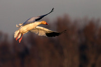 Snow Goose at First Light